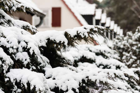 snowcovered: Snow-covered yew trees