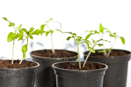 joung tomato plant Stock Photo
