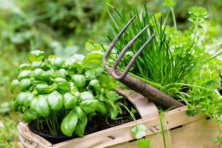 flower pot: basil, chive and coriander in a garden Stock Photo