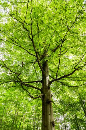 Buche Baum in einem Wald in Deutschland Standard-Bild - 34969763