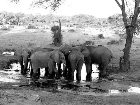 pozo de agua: Los elefantes africanos en una charca