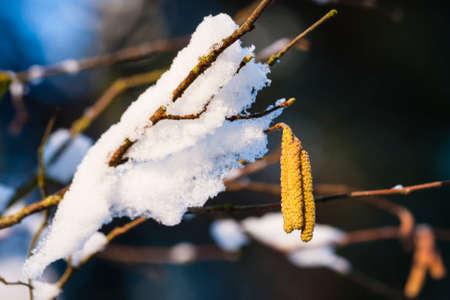albero nocciola: Hazel fiorisce con la neve