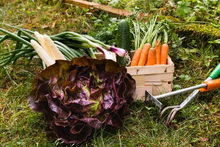 harvest of red oak leaf lettuce, carrots and asparagus in a garden