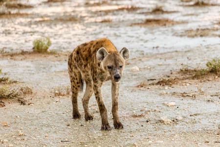 mocks hyena, Crocuta crocuta, Etosha National Park, Etosha National Park, Namibia
