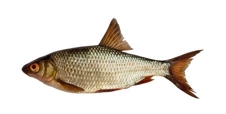 European roach - freshwater fish isolated on white photo