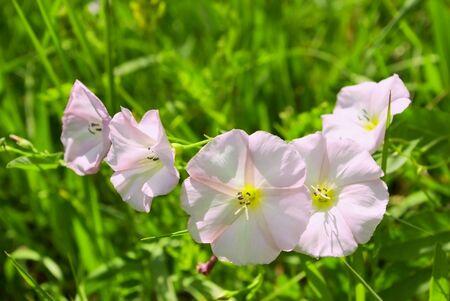 plants species: Bindweed (Calystegia sepium) - species of flowering plants in the  family Convolvulaceae