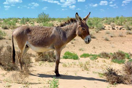 donkey: Wilde ezel in de woestijn