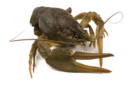 chitin: Big alive river crayfish isolated on white