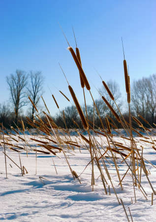 winter blues: Cattails  (Typha) at frozen winter forest lake