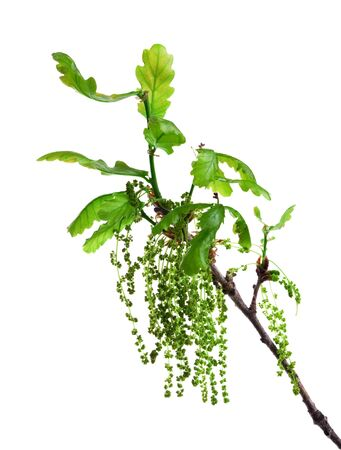 catkins: Flowering oak branch with leaves and catkins isolated on white