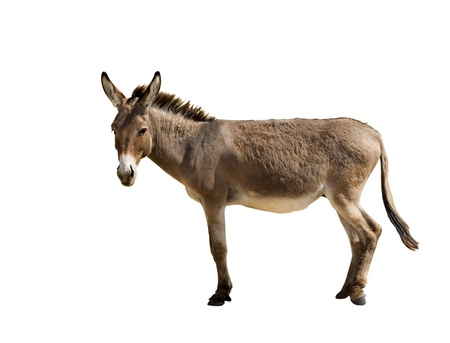 Donkey isolated on white Stock Photo