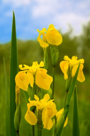 Beautiful wild iris pseudacorus (Yellow Flag Iris) on green meadow photo