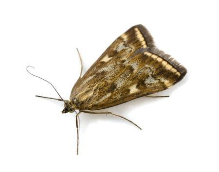 moth: Beet Webworm Moth (Loxostege sticticalis) isolated on white