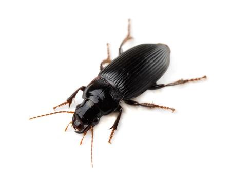 Ground beetle (Tachyta nana) op wit wordt geïsoleerd Stockfoto