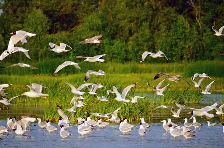 zwerm vogels: Grote zwerm meeuwen aan de oever van de rivier