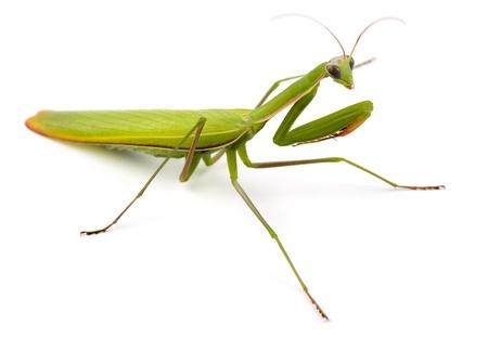 Praying mantis (Mantis religiosa) isolated on white  Stock Photo