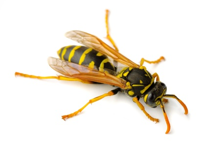 abdomen yellow jacket: European paper wasp (Polistes dominula)