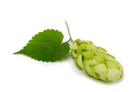Ripe hop cone (Humulus lupulus) isolated on white photo
