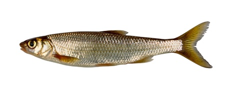 Common (eurasian) dace  (Leuciscus leuciscus)  isolated on white Stock Photo - 10526842