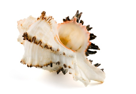murex shell: Sea shell (murex endivia) isolated on white