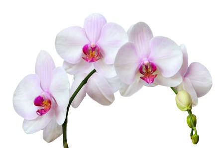 Branch of pink spotted orchids isolated on white photo