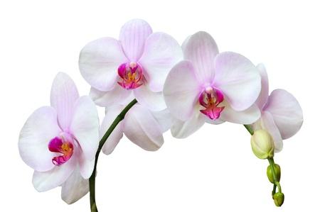 Direction des orchidées roses tachetés isolé sur blanc