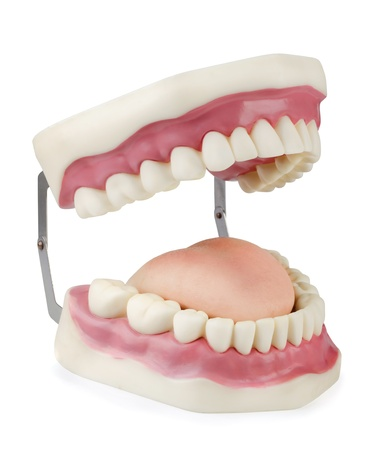 Artificial dental model isolated on white photo