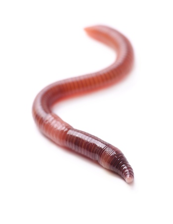 Single earthworm isolated on white Stock Photo - 20280197