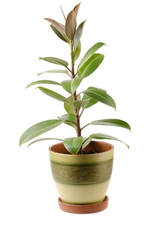 ficus: Ficus elastica houseplant in pot isolated on white