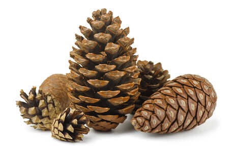 Group of various conifer cones isolated on white