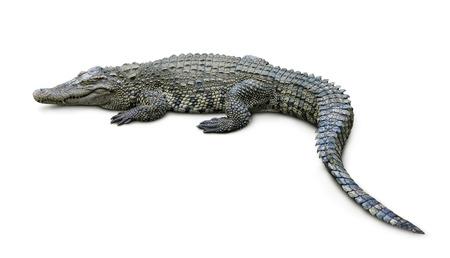 cocodrilo: Cocodrilo aislado en blanco