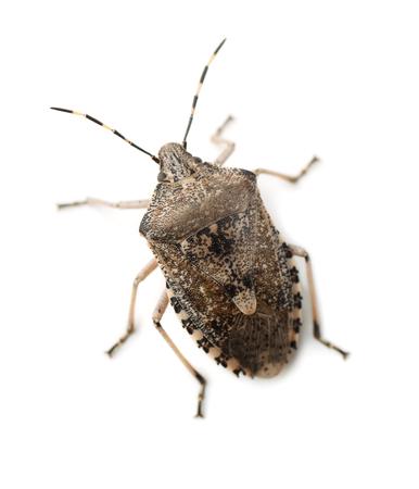 mottled: Mottled Shield Bug isolated on white