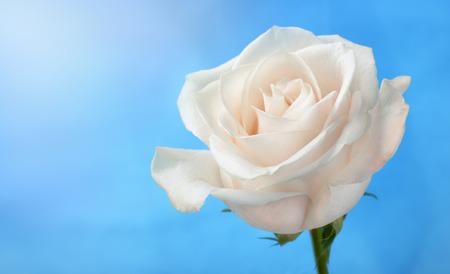 White rose sotto sfondo azzurro del cielo Archivio Fotografico - 53627538