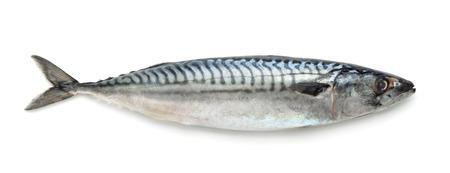 Fresh atlantic mackerel isolated on white