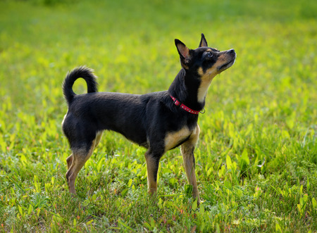 russkiy: Toy terrier on the spring grass