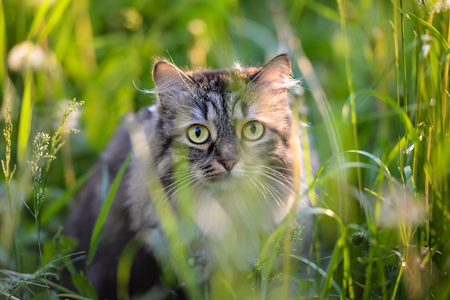 Tabby cat hiding in the grass  in the summer evening 免版税图像
