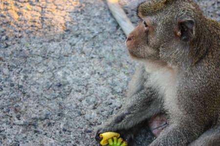 comiendo platano: Mono comiendo banana