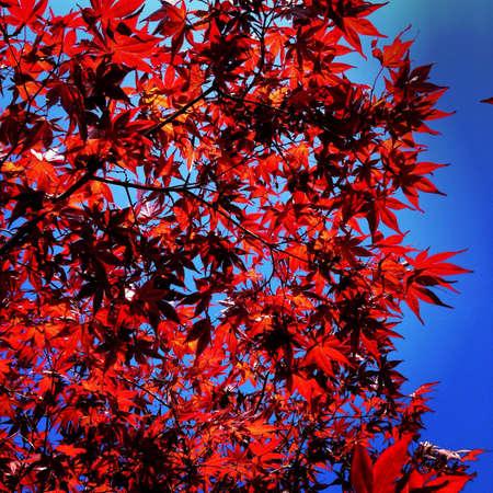 momiji: Momiji Tree