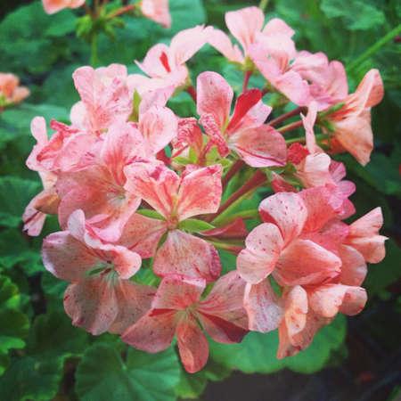 repellant: Geranium, mosquito repellant flower