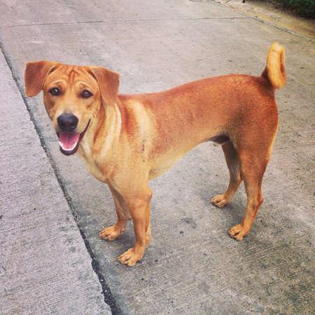 vagabond: Thai brown dog