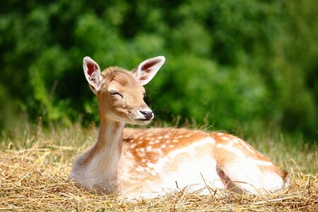 capreolus: Young deer sitting down on a layer of hay near in a green forest
