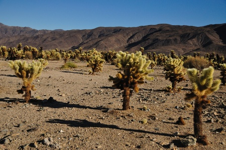 Teddybear Cactus in the Californian Desert Stok Fotoğraf