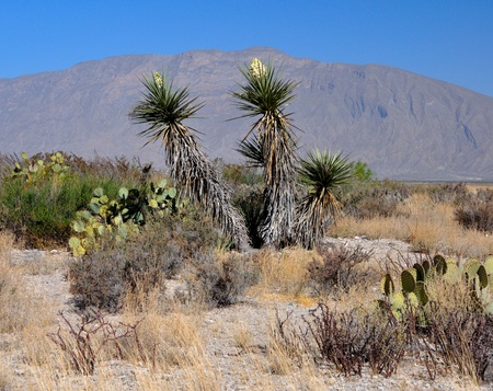 mx: Yucca Flowers in the Chihuahuan Desert in Coahuila, MX