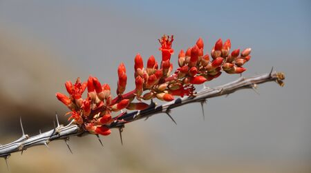ocotillo: Ocotillo Flowers in Bloom in the Chihuahuan Desert of Coahuila, MX