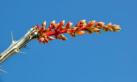 mx: Ocotillo Flowers in Bloom in the Chihuahuan Desert of Coahuila, MX