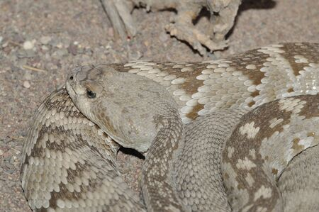 Black-tailed rattlesnake (Crotalus molossus) from the Chihuahuan Desert of Coahuila, MX photo