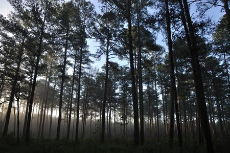mississippi: Misty morning in a pine forest of Mississippi  Stock Photo