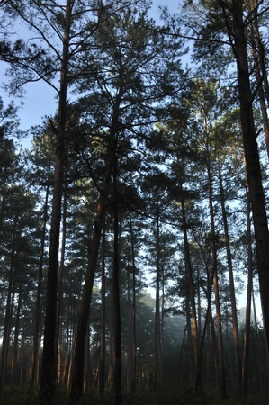 Misty morning in a pine forest of Mississippi  Imagens