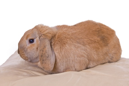 Hase: pale brown little rabbit on a pillow