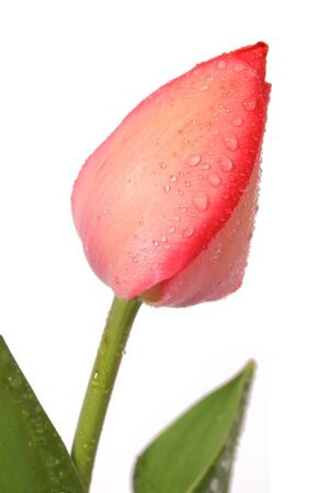 frhling: red tulip Stock Photo